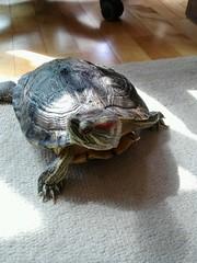 IMG_1821 (arakalada) Tags: turtle   redearturle