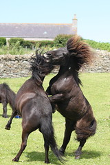 Boyz 4 (Westquoy) Tags: playing pony shetland shetlandponies orkneyislands geldings