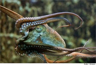 Krake   /   Octopus