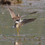 Lesser Yellowlegs (aggression.) thumbnail