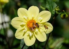 Busy Bees, Happy Flower (zenseas : )) Tags: seattle dahlia summer flower washington bees sunny bee volunteerpark honeybee capitolhill sunnyday apis busybees happyflower coreopsideae