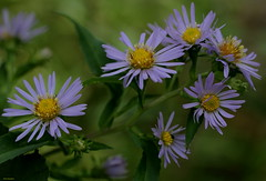 Wild Asters (Diane Marshman) Tags: wild summer orange plants plant flower green nature leaves petals purple blossom pennsylvania center pa bloomer bloom late tall blooms wildflower asters aster perennial lavendar