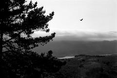 Above Crystal Springs (hjl) Tags: california blackandwhite foothills bird silhouette fog clouds landscape flying trix hc110 35mmfilm canona1 crystalsprings vivitarseries1vmc70210f35