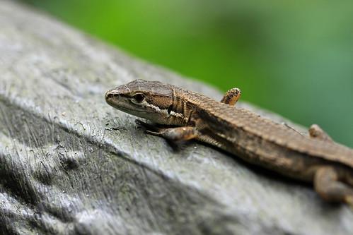 新治市民の森のニホンカナヘビ(Japanese Grass Lizard, Niiharu Community Woods, Yokohama, Japan)