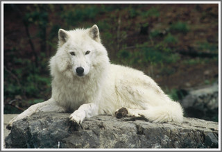 {Wistful Arctic Wolf} - II.