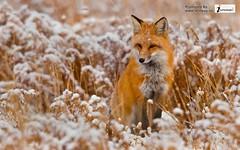 nice fox animal