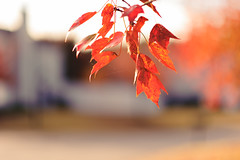 In red (Daniel A Ruiz) Tags: autumn red fall leaves spider leaf maple nikon bokeh smooth 85mm webs d700