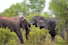 DSC_0799 (Arno Meintjes Wildlife) Tags: elephant animal wildlife safari krugernationalpark africanelephant big5 loxodontaafricana africanbushelephant arnomeintjes