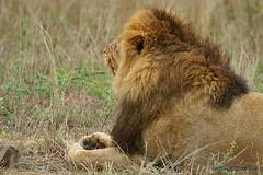 PICT2271 (Arno Meintjes Wildlife) Tags: africa nature animal southafrica wildlife lion safari bigcat predator krugerpark kruger big5 pantheraleo arnomeintjes