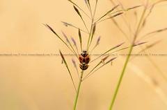 Ladybird (MunzerShamsul) Tags: wallpaper abstract macro insect daylight branch background fineart ladybird beetles plain macrophotography munzershamsul