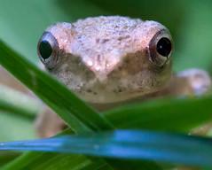 Baby Grey Tree Frog: Tiny! (trekok, enjoying) Tags: baby tree grey frog m elements qc 199 73013