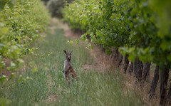 Kangaroos in the Vineyard (Susie Burgher) Tags: sea snow ski beach sand surf snowboard southaustralia snowymountains babyportraits foodphotography glamourportraits childportraits equinephotography scenicphotography charlottepassskiresort snowchutesphotography susieburgher susieburgherphotography