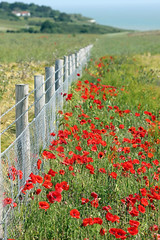 Summer Poppy Fence! [Explored!] (RiverCrouchWalker) Tags: sea summer fence coast kent poppies hff clifftops happyfencefriday