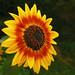 Girasol de fuego * Fire Sunflower