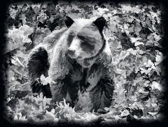 Grizz (Jeff Clow) Tags: wildlife grizzly albertacanada banffnationalpark grizzlybear ©jeffrclow jeffclowphototour banffphototour