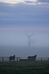 The Oak in Winter (GI Les) Tags: morning winter horses mist cold silhouette fog fence long cotswolds gloucestershire wiltshire newton equine tetbury