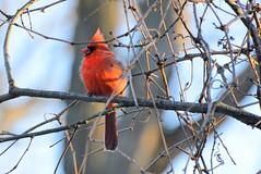 The beautiful Northern Cardinal (Gurly Hardin The Light Catcher) Tags: male cardinal northern