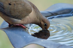 Thanks for the Drink! 137/365 (Maggggie) Tags: 365 bird birdbath mourningdove 114in2014 besidethewater explored