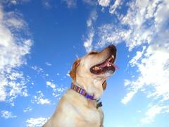 11982569274 21897cb491 m Hercules, Photos of my fun Yellow Labrador
