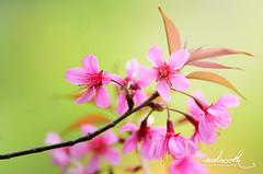 Wild Himalayan cherry blossom (mdoooth) Tags: pink wild flower cherry thailand blossom chiangmai himalayan khunchangkian