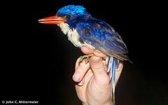 Common Paradise-Kingfisher (Tanysiptera galatea) (jmittermeier) Tags: obi moluccas obiisland