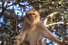 Barbary macaque 7 (Ryoushi no syokubutsuen) Tags: art sahara nature landscape desert arabic berber marocco marrakech magrib almagrib medrassa