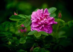 Emerald leaves (Arutemu) Tags: flowers light flores flower canon lens flor m42 helios