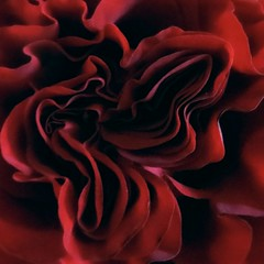 scarlet secrecy (saudades1000) Tags: red flower macro rose scarlet rouge petals flor redrose rosa valentine vermelho passion secrecy hiddenbeauty