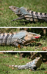 Hungry (Katka S.) Tags: park blue wild costa cute green nature animal three big triptych reptile rica national iguana manuel antonio