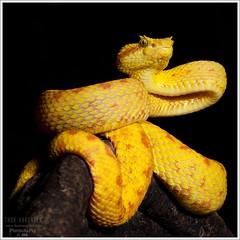 Bothriechis schlegelii (Thor Hakonsen) Tags: snakes animalia reptiles vertebrates reptilia vipers chordata serpentes vertebrata squamata viperidae bothriechisschlegelii eyelashviper reptiler slanger {vision}:{outdoor}=0725 {vision}:{plant}=0723 {vision}:{dark}=0678