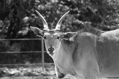 Eland (Doodles N' Dabbles) Tags: africa animal mammal horns eland