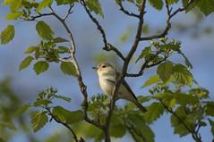 photograph by Karen Lee Lewis (kleelew) Tags: bird spring migration vireo warbling