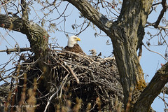 Eagle Parent and Baby [5209] (cl.lin) Tags: pink baby bird nature nikon midwest nest eagle wildlife birding sigma iowa americanbaldeagle d600 sigma50500mm
