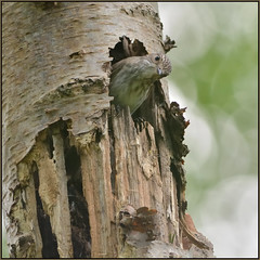 Spotted Flycatcher (image 2 of 4) (Full Moon Images) Tags: bird nature nest wildlife sandy bedfordshire reserve lodge spotted flycatcher thelodge rspb