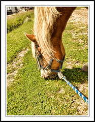 Happy Meal (gill4kleuren - 13 ml views) Tags: life horse me sarah fun outside happy running gill saar paard haflinger