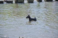 Arthur - the Water Schnauzer (bigbluewolf) Tags: dog pet black dogs giant miniature nikon walk derbyshire schnauzer mini annual dovedale miniatureschnauzer giantschnauzer 2014 saltnpepper asw d7000