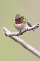 _53F1818-Edit Ruby-throated Hummingbird (~ Michaela Sagatova ~) Tags: male dundas rubythroatedhummingbird archilochuscolubris birdphotography dvca michaelasagatova spring2014