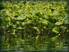 Wetland vegetation-- at Silver Lake (MissyPenny) Tags: water silverlake wetlands vegetation buckscounty waterplants wetlandplants southeasternpa bristolpennsylvania