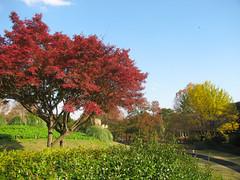 3853 Four Fall Colors (mari-ten) Tags: park autumn tree fall nature japan cycling tokyo japanesemaple 日本 東京 紅葉 秋 kanto tachikawa eastasia 東京都 2011 showapark 昭和公園 関東地方 国営昭和記念公園 イロハモミジ 立川市 201111 20111120