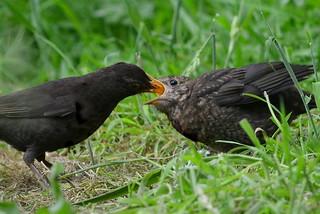 Blackbird Feeds Its Offspring ...