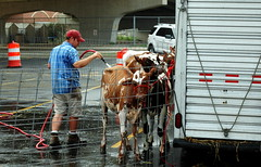 IDOT Assists Brown Swiss and Ayrshire National Convention (Illinois Department of Transportation) Tags: cow illinois cattle peoria ayrshire idot eastpeoria brownswiss illinoisdepartmentoftransportation