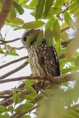image (Frozen_Light) Tags: 6059thekimberley australia barkingowl bird fauna regions westernaustralia willaire