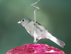 #142 - Same Subject - Different Lighting  (1 of 2) (DCLbyrdnyrd) Tags: tufted titmouse songbird
