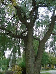 DSC05719 (2) (theinvisibleman@rogers.com) Tags: weeping willow tree wit normal trunk