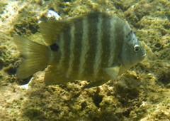 DSCF0941 (washuugenius) Tags: photo hawaii kauai underwater fish keebeach