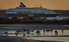 The Copenhagen - Oslo ferry passes by (frankmh) Tags: bird seabird goose ship ferry hittarp hittarpreef helsingborg skne sweden outdoor denmark