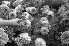 #5 Dahlias (Wik photo) Tags: 50mm 135mm analog canon ae1 ishootfilm filmisnotdead bw white black 100 delta ilford instagramapp square squareformat iphoneography