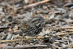 Eating In the Rain (UnsignedZero) Tags: animal bird birds california item object out outdoor outdoors outside outsides paloalto paloaltobaylands rainy weather