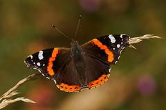 Vanessa atalanta (2) (JoseDelgar) Tags: josedelgar insecto mariposa vanessaatalanta coth coth5 alittlebeauty contactgroups ngc specanimal npc thegalaxy