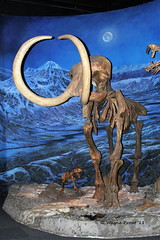 Woolly Mammoth (Mammuthis primigenius) (Gerald (Wayne) Prout) Tags: woollymammoth mammuthisprimigenius animalia chordata synapsida mammalia proboscidea elephantidae mammulus prehistoric pleistocene earlyholocene johannfriedrichblumenback 1799 herbivore eurasia northamerica hebiorwisconsin hebior lateionian iceage fossil mountedskeleton royaltyrrellmuseumofpalaeontology midlandprovincialpark drumheller alberta canada prout geraldwayneprout canon canoneos40d